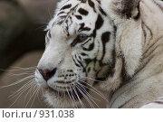 Купить «Белый бенгальский тигр (Panthera tigris bengalensis)», фото № 931038, снято 20 июня 2009 г. (c) Вячеслав Беляев / Фотобанк Лори