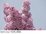 Розовая сирень благоухает в июне. Стоковое фото, фотограф Дамир / Фотобанк Лори