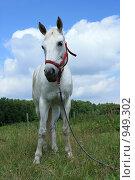 Купить «Белая лошадь стоит в поле», фото № 949302, снято 29 июня 2009 г. (c) Яна Королёва / Фотобанк Лори