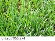 Купить «Зеленая трава после дождя», фото № 955274, снято 25 мая 2009 г. (c) Валерий Крывша / Фотобанк Лори