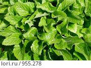 Купить «Яркие зеленые листья», фото № 955278, снято 25 мая 2009 г. (c) Валерий Крывша / Фотобанк Лори
