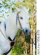 Купить «Лошадь белая», фото № 956870, снято 1 мая 2009 г. (c) Оксана Белая / Фотобанк Лори