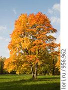 Купить «Осенний клен», эксклюзивное фото № 956962, снято 25 сентября 2008 г. (c) Александр Щепин / Фотобанк Лори