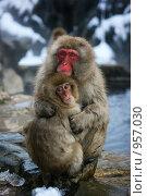 Jigokudani-yaen-koen (Япония) Стоковое фото, фотограф Vladimir Kropinov / Фотобанк Лори