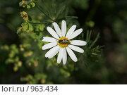 Купить «Пчёлка на ромашке», фото № 963434, снято 16 июня 2009 г. (c) Смирнова Лидия / Фотобанк Лори