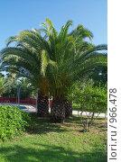 Финиковая пальма. Стоковое фото, фотограф Мишурова Виктория / Фотобанк Лори
