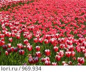 Купить «Цветы, тюльпаны», фото № 969934, снято 20 мая 2018 г. (c) Fairy Water / Фотобанк Лори
