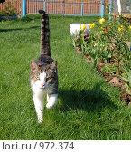 Купить «Кошка, идущая по траве на дачном участке», фото № 972374, снято 10 мая 2009 г. (c) Елена Азарнова / Фотобанк Лори