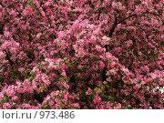 Яблони в цвету. Стоковое фото, фотограф Ирина Величинская / Фотобанк Лори
