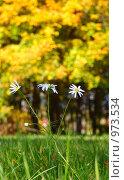Купить «Полевые ромашки», фото № 973534, снято 30 сентября 2007 г. (c) Алексей Росляков / Фотобанк Лори