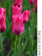 Тюльпан. Стоковое фото, фотограф Ирина Величинская / Фотобанк Лори