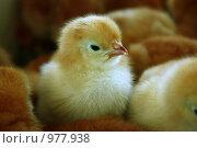 Купить «Цыплята», фото № 977938, снято 22 февраля 2019 г. (c) severe / Фотобанк Лори