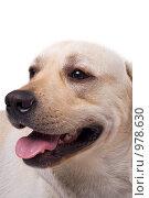 Купить «Собака», фото № 978630, снято 4 июля 2008 г. (c) Сергей Сухоруков / Фотобанк Лори