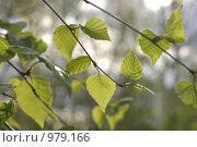 Купить «Молодые листья березы», фото № 979166, снято 19 мая 2005 г. (c) Сергей Флоренцев / Фотобанк Лори