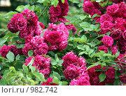 Бордовые плетистые розы. Стоковое фото, фотограф Алина / Фотобанк Лори
