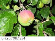 Купить «Спелое яблоко московской грушовки на дереве», фото № 987854, снято 13 июля 2009 г. (c) Ульянов Александр Михайлович / Фотобанк Лори