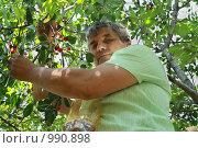 Сбор черешни. Стоковое фото, фотограф Ольга Ивлева / Фотобанк Лори