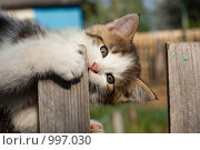 Купить «Кошка домашняя, Felis catus», фото № 997030, снято 11 мая 2009 г. (c) Василий Вишневский / Фотобанк Лори