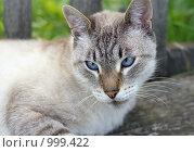 Голубоглазый кот. Стоковое фото, фотограф Сергей Гусев / Фотобанк Лори