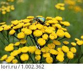 Купить «Жук на цветке пижмы», эксклюзивное фото № 1002362, снято 26 июля 2009 г. (c) Василий Пешненко / Фотобанк Лори