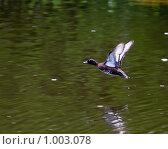 Купить «Чернеть хохлатая, Aythya fuligula, Tufted Duck (Tufted Pochard)», фото № 1003078, снято 20 мая 2009 г. (c) Василий Вишневский / Фотобанк Лори