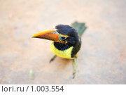 Купить «Птенец тукана», фото № 1003554, снято 30 мая 2009 г. (c) Владимир Мельник / Фотобанк Лори