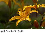 Купить «Желтая лилия», фото № 1003590, снято 28 июля 2009 г. (c) Павел Спирин / Фотобанк Лори