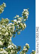 Цветущая яблоня. Стоковое фото, фотограф Rumo / Фотобанк Лори