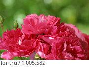 Купить «Цветы темно-розовой розы на зеленом фоне», эксклюзивное фото № 1005582, снято 25 июля 2009 г. (c) Наталия Шевченко / Фотобанк Лори