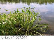 Купить «Водное растение - стрелолист обыкновенный», эксклюзивное фото № 1007514, снято 14 июля 2009 г. (c) Наталья Волкова / Фотобанк Лори