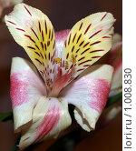 Перуанская лилия (Альстромерия) Стоковое фото, фотограф Вячеслав Маслов / Фотобанк Лори
