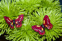 Бабочки на цветах, фото № 1008854, снято 1 февраля 2009 г. (c) Кекяляйнен Андрей / Фотобанк Лори