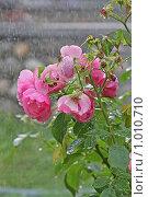 Купить «Розы под дождем», фото № 1010710, снято 30 июля 2009 г. (c) Ольга Шаран / Фотобанк Лори