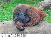 Купить «Орангутан», фото № 1010718, снято 30 июля 2009 г. (c) Ольга Шаран / Фотобанк Лори