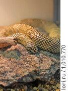 Купить «Королевская змея Брукса», фото № 1010770, снято 30 июля 2009 г. (c) Ольга Шаран / Фотобанк Лори