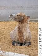 Купить «Верблюд», фото № 1010794, снято 30 июля 2009 г. (c) Ольга Шаран / Фотобанк Лори