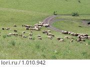 Отара овец. Стоковое фото, фотограф Андрей Сверкунов / Фотобанк Лори