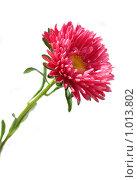 Купить «Цветок астры», фото № 1013802, снято 2 августа 2009 г. (c) Эдуард Жлобо / Фотобанк Лори