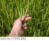Пшеничный колос в руке. Стоковое фото, фотограф Коротеев Сергей / Фотобанк Лори