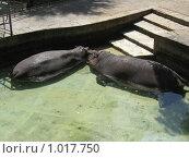 Целующиеся бегемоты в зоопарке (2009 год). Стоковое фото, фотограф Pavel S. Popov / Фотобанк Лори