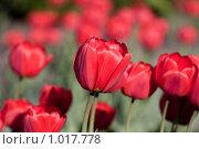 Купить «Тюльпаны», фото № 1017778, снято 8 мая 2009 г. (c) Александр Артемьев / Фотобанк Лори