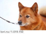 Купить «Рыжая собака», фото № 1019150, снято 1 марта 2009 г. (c) Losevsky Pavel / Фотобанк Лори