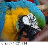Лазоревый Ара. Стоковое фото, фотограф Мамедова Любовь / Фотобанк Лори