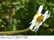 Гибридная ромашка. Стоковое фото, фотограф Сергей Кудряшов / Фотобанк Лори