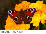 Купить «Бабочка: павлиний глаз», фото № 1027834, снято 9 августа 2009 г. (c) Саломатников Владимир / Фотобанк Лори