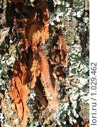 Купить «Кора осины в лесу», фото № 1029462, снято 29 января 2020 г. (c) ElenArt / Фотобанк Лори
