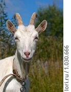 Купить «Портрет белой козы», фото № 1030666, снято 9 августа 2009 г. (c) Алексей Крылов / Фотобанк Лори