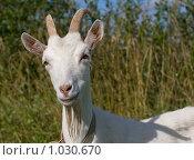 Купить «Портрет белой козы», фото № 1030670, снято 9 августа 2009 г. (c) Алексей Крылов / Фотобанк Лори