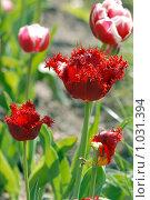 Купить «Алый махровый тюльпан», эксклюзивное фото № 1031394, снято 9 мая 2009 г. (c) Svet / Фотобанк Лори