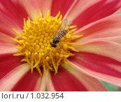 Насекомое на цветке. Стоковое фото, фотограф Дмитрий Янкин / Фотобанк Лори